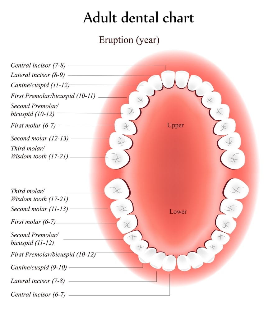 Adult Tooth Chart in Saint-Dorothée, Laval